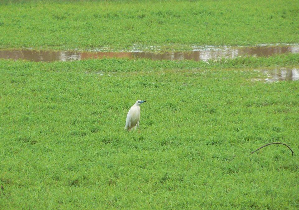 Héron crabier blanc- Ampitolova